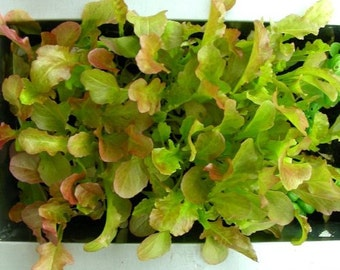 Red Salad Bowl Lettuce Seeds- Heirloom- 1,000+ Seeds