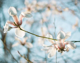 Blooming magnolia tree, Instant Digital Download Art Photography Printable, magnolia blossom flowers, blue and pink floral photography
