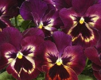 35+ Matrix Sangria Pansy / Flower Seeds