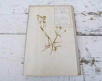 Vintage 1939 French herbarium/botanical plate/Caryophillées Stellaire graminée