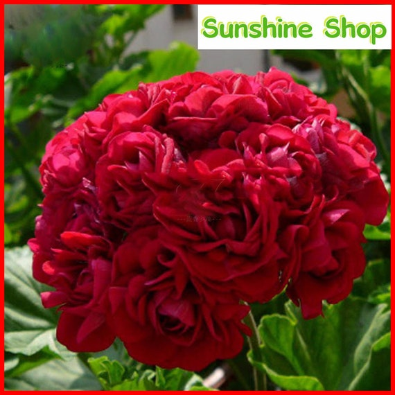 10PCS Geranie dunkel-rot Apple Blossom mehrjährige Blume
