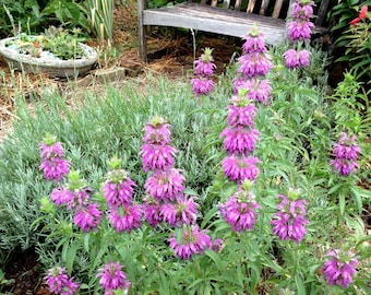 Lemon Bergamot Seeds, Monarda citrriodora, Herb Garden Seeds, Great for Butterfly Gardens, Hummingbird Garden Plant, Fragrant Herbs