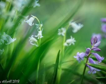 Bluebell flower photograph,whimsy floral woodland,farmhouse decor,enchanted flower garden art ,soft morning light,hyacinth meadow flower
