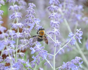 Flower Photograph, Cottage Wall Art, Bumble Bee Print, Lavender Color Palette, Nature Photography, Bee Photo, Floral Wall Decor, Blue Floral