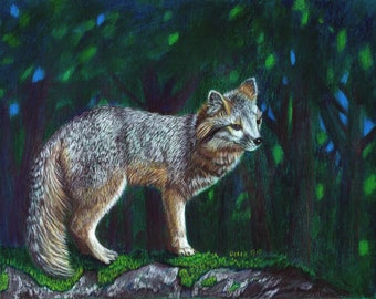 Grey Fox colored pencil painting
