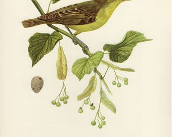 Vintage lithograph of the icterine warbler from 1953