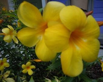 Alamanda Flowers Photograph 8x10 Home Decor