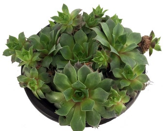 "Green Rose Hens & Chicks - Semperviven - Indoors or Out - 4"" Pot"