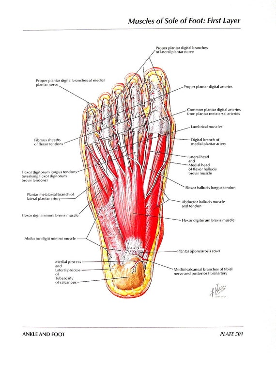 foot anatomy - Selo.l-ink.co