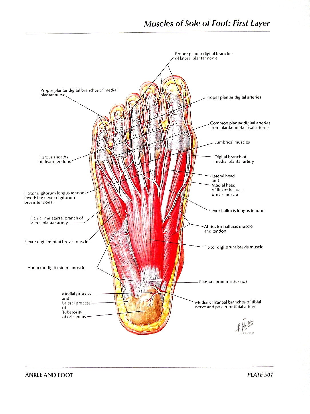 Anatomy Print Muscles of the Sole of the Foot First and