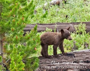 Baby Black Bear, Wildlife Photography