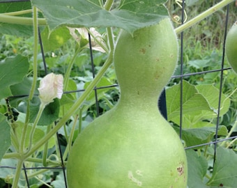 Bottle Gourd Seeds, Birdhouse Gourd Seeds, Heirloom Gourd Seeds, Grow Your Own Craft Gourds, Heirloom Seeds, Great for Purple Martin Houses
