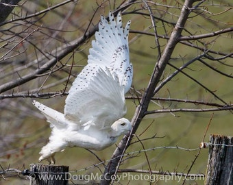 Snowy Owl in Central Ky. #2459
