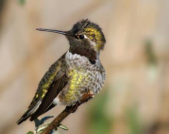 Male Anna's Hummingbird/ Digital Download/Photography