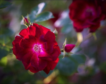 Wild Red Rose Flower - Color Photo Print - Fine Art Nature Photography (R03)