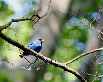 Bright Blue Indigo Bunting Photograph // Blue Bird Picture // Simple Bird Print