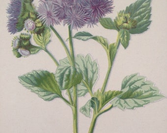 1879 AGERATUM Original Antique Botanical Lithograph - Botany - Flower - Wall Decor  - Home Decor - Matted & Ready to Frame