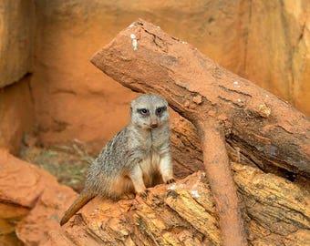 Lincoln Park Zoo Meerkat
