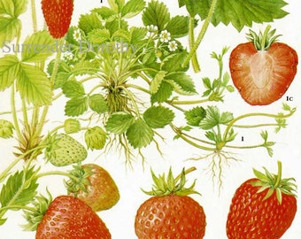 Summer Strawberry Chart Berry Fruit Botanical Lithograph Food Illustration For Your Vintage Kitchen 75