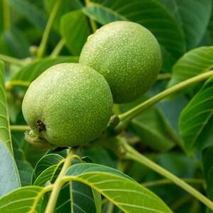 Black Walnut Tree, Edible Nuts, Attractive Hardwood, Fragrant Leaves, Shade Tree, Tall Tree, Easy to Grow, Full Sun, Hard Wood, Ornamental