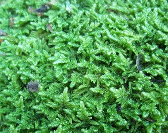 Gallon Bag Live Sheet Moss Scraps for Between Patio Stones or for Bonsai - Perfect for Moss Milkshake too!