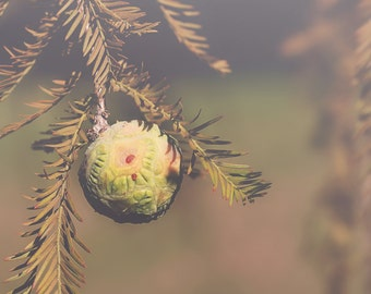 Gall Color Photo Print { green, red, branches, fall, tree, pine, ball, round, sunshine, wall art, macro, nature & fine art photography }
