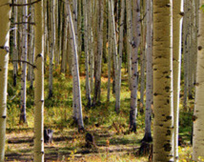 Aspen Grove - Original Photography - Prints and  Greeting Cards