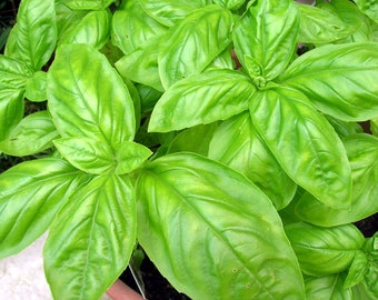 Sweet Basil seeds Organic