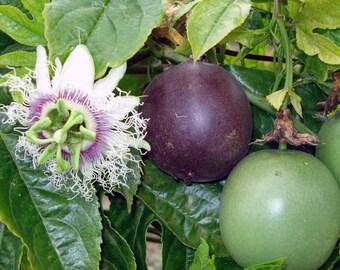 Passiflora cv. South African Black 10 seeds