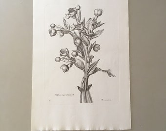 "Vintage 70s French Botanical Book Plate Print 12""x8"""