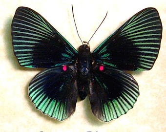 Dad's & Grad's Gift Lyropteryx Apollonia Green Rays Red Spotted Butterfly 474