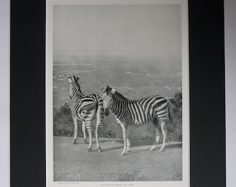 1901 Antique Natural History Print of Burchell's Zebras, Available Framed, Zebra Art, African Gift Conservation Decor Africa Safari Wall Art