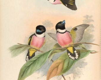 Black and Yellow Broadbill (eurylaimus ochromalus) exotic bird print illustration from Birds of Asia John Gould reproduction print