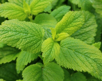Lemon balm (Melissa officinalis) Lemon Scented Perennial Bare Rooted Plant