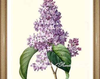 "Lilac Flower Botanical Print. Purple Flowers. 5x7"" 8x10"" 11x14"" 13x19"""