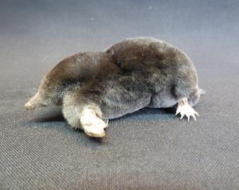 Taxidermy Garden Mole (log no:12) Stuffed Mole. Free Standing Mount.