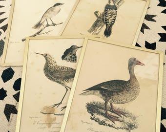 Old engravings of birds.