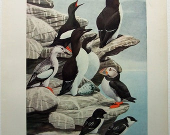 Black Guillemot, Brunnich Murre, Razor-Billed Auk, Puffin & Dovekie - Antique Print by Louis Agassiz Fuertes - From the 1910 Edition