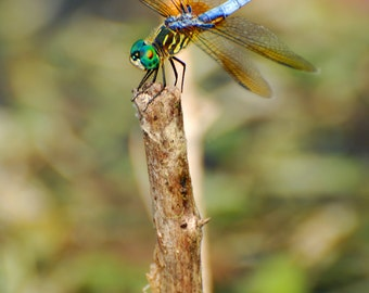 Dragonfly Photography, Nature Photography, Insect Photography, Wildlife Photos, Pond Life Photos,