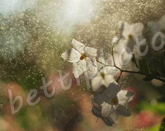 jasminum polyanthum# jasmine flower# dew# jpeg# instant download