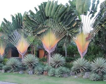 PALMS - Traveler's Palm (Ravenala Madagascariensis)