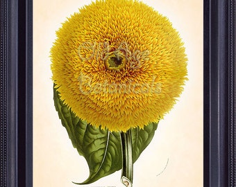 Botanical Print HOUTTE 8x10 Vintage Art Painting Huge Yellow HELIANTHUS Sunflower Beautiful Antique Flowers Large Plant Wall Decor BF0606