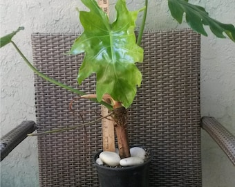 Very Rare Philodendron lacerum aroid Live tropical plant climbing vine