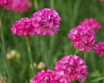 Sea Thrift (Armeria Maritima), pink flowers, live plants, perennial plants, rock garden plants, alpine flowers, plants for sun, ground cover