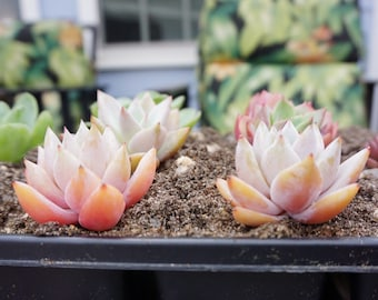 "Live Succulents Mexican Giant Gorgeous Pink Peachy Color 2"" One plant"