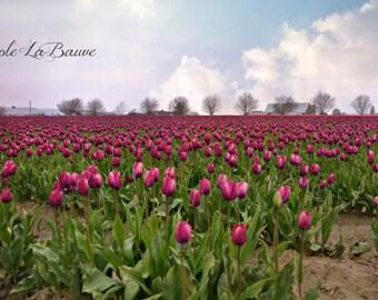 FIELD of PURPLE TULIPS ~ Floral Landscape ~ Botanical Wall Art ~ Flower Photography ~ Nature Fine Art Photography~ Tulip Festival