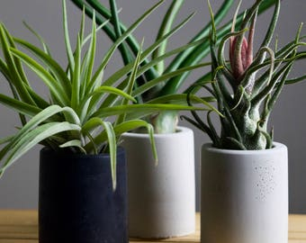 Concrete Air Plant Display // Natural or Charcoal