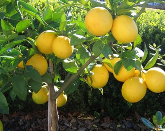 Lemon Starter Trees (size 4 inch pot, one plant per pot)