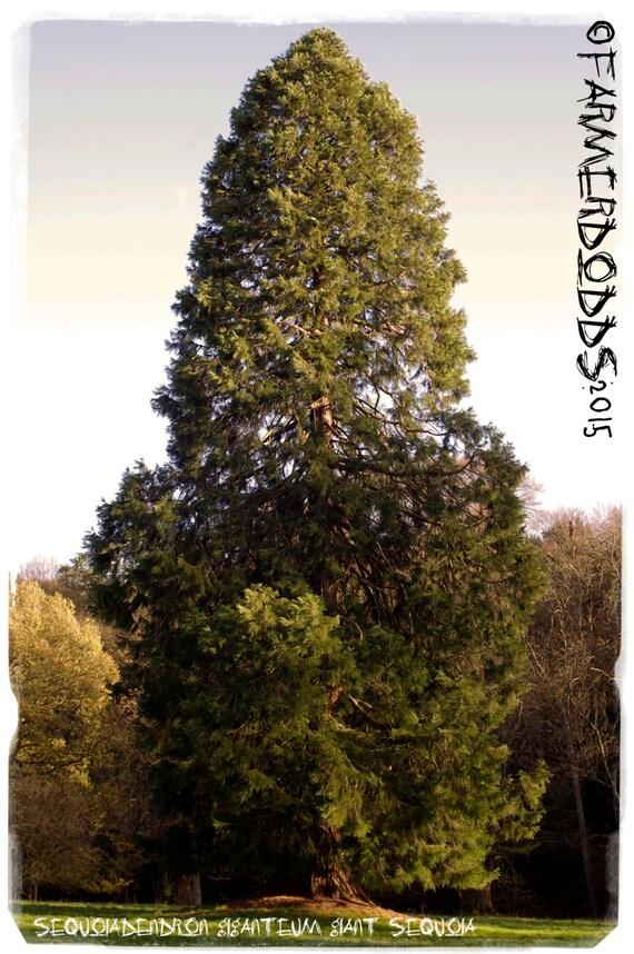 Sequoiadendron Giganteum Giant Sequoia Ex Whitaker