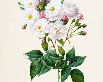 Blush Noisette Rose Flower Art Print, Botanical Art Print, Flower Wall Art, Flower Print, Floral Print, White Rose